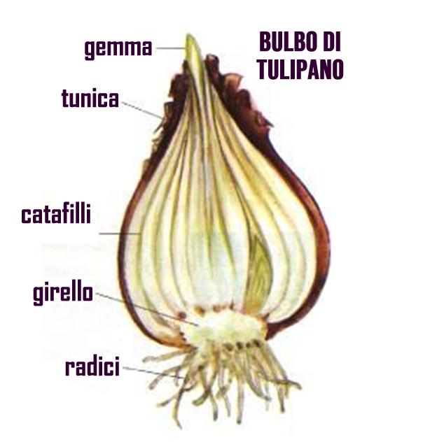 bulbo tulipano
