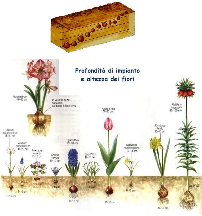 profondità impianto bulbi altezza fiori